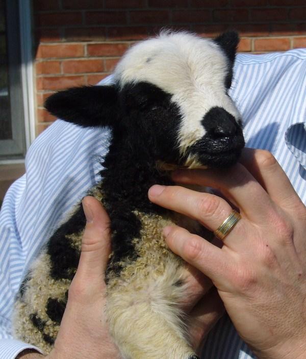 April_may_2007_lamb2_2