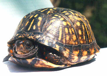 Jsc_970522_box_turtle