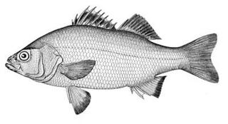 White_perch
